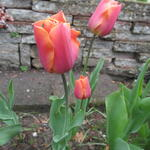 Tulipa 'Orange van Eijk' - Tulp
