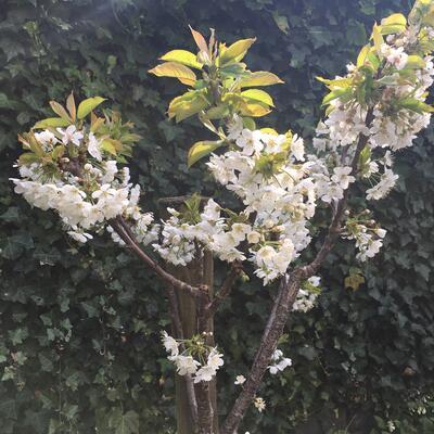 Prunus avium 'Sylvia' -