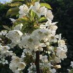 Prunus avium 'Sylvia' - Kerselaar, Silviakers - Prunus avium 'Sylvia'