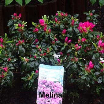 Rhododendron 'Melina'