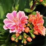 Lewisia cotyledon 'Mountain Dreams' - Bitterkruid