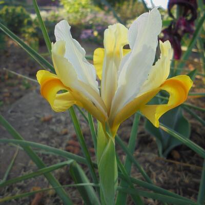 Iris hollandica 'Montecito' -