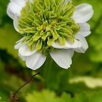 Tordylium apulum - Tordylium apulum - Mediterrane hartwort, Hertenplant