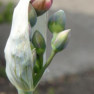 Allium tripedale -