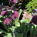 Allium 'Ostara' - Allium 'Ostara' - Sierui - puinlook