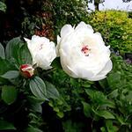 Pioen - Paeonia lactiflora 'Festiva Maxima'