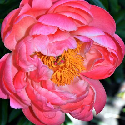 Paeonia 'Coral Sunset'  -
