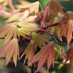 Acer shirasawanum 'Autumn Moon' - Esdoorn