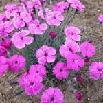 Dianthus 'Whatfield Magenta' - Dianthus 'Whatfield Magenta' - Geuranjer