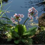 Primula japonica 'Apple Blossom' - Sleutelbloem / Japanse etageprimula - Primula japonica 'Apple Blossom'