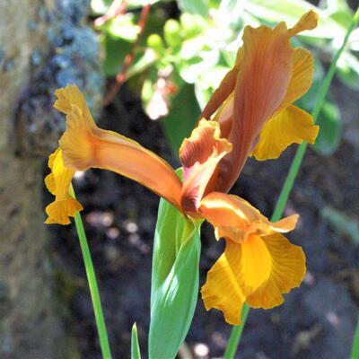 Iris hollandica 'Autumn Princess' -