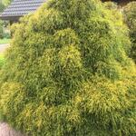 Schijncypres, Japanse cipres, Japanse Sawara cipres - Chamaecyparis pisifera 'Sungold'
