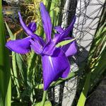 Iris laevigata 'Bleu' - Iris laevigata 'Bleu' - Japanse iris