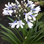 Agapanthus africanus 'Twister' - Afrikaanse lelie / Kaapse lelie / Tuberroos - Agapanthus africanus 'Twister'