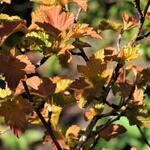 Physocarpus opulifolius 'Amber Jubilee' - Blaasspirea - Physocarpus opulifolius 'Amber Jubilee'