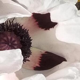 Papaver orientale Royal Wedding