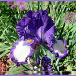 Iris germanica 'Stepping Out' - Baardiris, zwaardiris