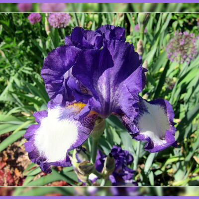 Iris germanica 'Stepping Out' -