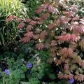 Acer palmatum 'Ever Autumn'