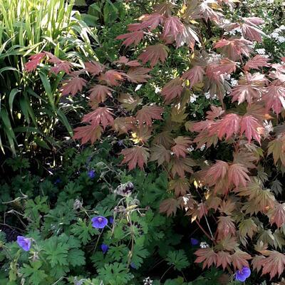 Acer palmatum 'Ever Autumn' -