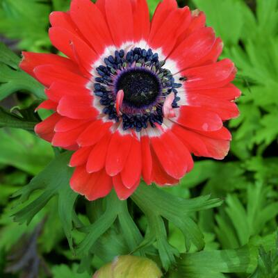Anemone coronaria 'Governor' -