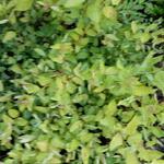 Spiraea japonica 'Golden Princess' - Spierstruik - Spiraea japonica 'Golden Princess'
