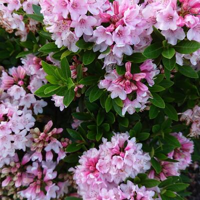 Rhododendron micranthum 'Bloombux' -