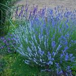 Lavendel - Lavandula