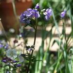 Polemonium yezoense var. hidakanum 'Purple Rain' - Jacobsladder - Polemonium yezoense var. hidakanum 'Purple Rain'
