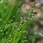 Melica uniflora - Melica uniflora - Eenbloemig parelgras
