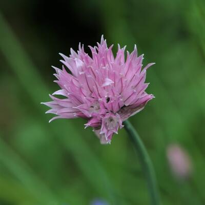 Allium schoenoprasum 'Forescate' -