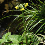 Primula florindae - Sleutelbloem - Primula florindae
