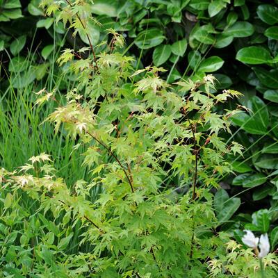 Acer palmatum 'Going Green' -