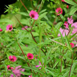 Potentilla nepalensis 'Ron McBeath' - Ganzerik/vijfvingerkruid - Potentilla nepalensis 'Ron McBeath'