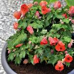 Abutilon 'Lucky Lantern Red' - Abutilon 'Lucky Lantern Red' - Chinese Lantaarn