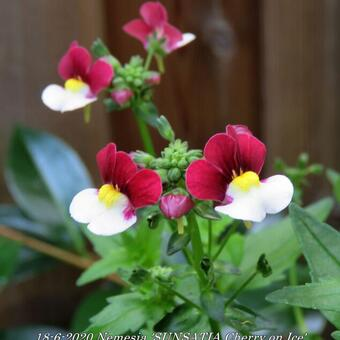 Nemesia 'SUNSATIA Cherry on Ice'
