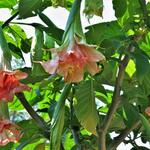 Brugmansia Pink perfection x Triple A - Engelentrompet