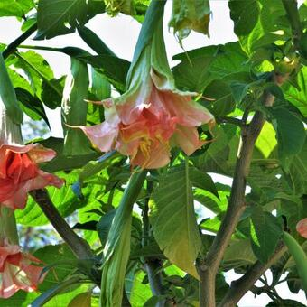 Brugmansia Pink perfection x Triple A