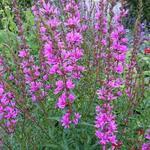 Lythrum salicaria 'Robin' - Kattenstaart - Lythrum salicaria 'Robin'