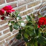 Rosa 'Florentina' - Roos, klimroos - Rosa 'Florentina'