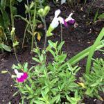 Salvia x jamensis 'Amethyst Lips' - Salie - Salvia x jamensis 'Amethyst Lips'