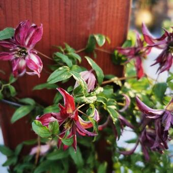 Clematis  viticella 'Rosalyn'