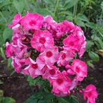 Phlox paniculata 'Fairytale of the Ural' - Vlambloem / Flox - Phlox paniculata 'Fairytale of the Ural'