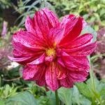Dahlia 'Black Narcissus' - Dahlia 'Black Narcissus' - Dahlia