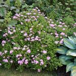 Spierstruik - Spiraea japonica 'Little Princess'