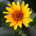 Heliopsis helianthoides scabra 'Burning Hearts' - Heliopsis helianthoides scabra 'Burning Hearts' - Zonneogen