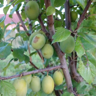 Prunus domestica 'Ste Catharine' -