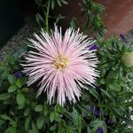 Callistephus chinensis 'Starlight Light Pink' -