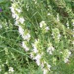 Hyssopus officinalis 'Albus' - Hyssop - Hyssopus officinalis 'Albus'