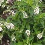Lysimachia clethroides 'Snow Candle' - Wederik - Lysimachia clethroides 'Snow Candle'